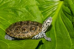 Diamondbackmoerasschildpad op een groen blad wordt ge?soleerd dat stock foto