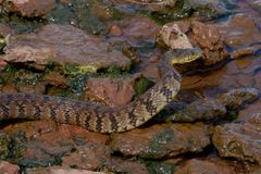 Diamondbackwatersnake Royaltyfri Bild