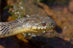Diamondbackwatersnake Arkivfoto
