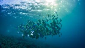 diamondfish学校在原始热带珊瑚礁的 免版税图库摄影