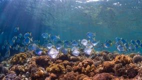 diamondfish学校在原始热带珊瑚礁的 免版税库存照片