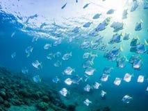 diamondfish学校在原始热带珊瑚礁的 库存照片