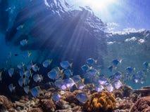diamondfish学校在原始热带珊瑚礁的 免版税库存图片