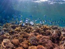 diamondfish学校在原始热带珊瑚礁的 库存图片