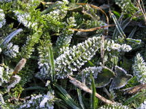 Diamonds scattering of a frost. On the green carved leaves of yarrow (Achillea millefolium Stock Photography