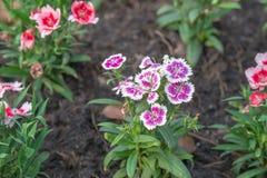 Dian-so Blume im Garten am Tag Lizenzfreies Stockbild