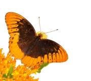 Diana Fritillaryfjäril som matar på fjärilsweed Arkivbilder