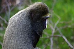 diana małpy portret Obrazy Royalty Free