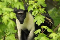 Diana Monkey Royalty Free Stock Photo