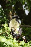 Diana Monkey Stock Image