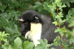 Diana Monkey Stock Photography