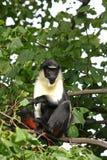 Diana Monkey Royalty Free Stock Photo