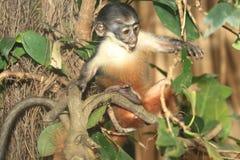 Diana Monkey (Cercopithecus Diana) photos libres de droits