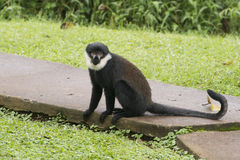 Diana Monkey Stock Photo