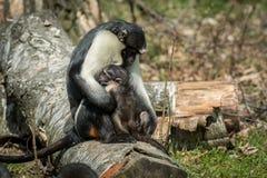 The Diana monkey. Monkey the Diana monkey Cercopithecus diana Wildlife animal royalty free stock images
