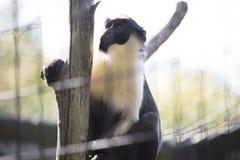 Diana Monkey Guenon Stockbild