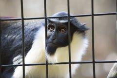 Diana Monkey Guenon Royalty Free Stock Photography
