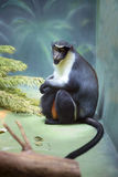 The Diana monkey Royalty Free Stock Images
