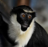 Diana Monkey Royalty Free Stock Image