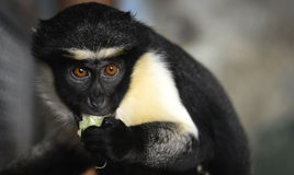 Diana Monkey Stock Images