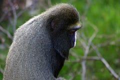 Diana Monkey Portrait Royalty Free Stock Images