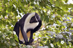 Diana monkey in tree Stock Photos