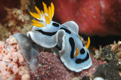 Diana's Chromodoris. Macro image of a tiny nudibranch (sea slug) taken while diving in Lembeh, Indonesia royalty free stock photos