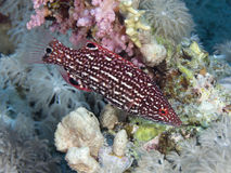 Diana's hogfish in Red sea, Royalty Free Stock Photo