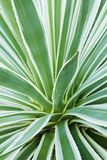 Dianella, foliage plant.  Stock Photos