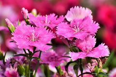 Dianthus.  is a genus of about 300 species of flowering plants in the familyCaryophyllaceae, native mainly to Europe and Asia, with a few species Stock Image