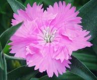 Dianthus światło - menchia zdjęcie royalty free