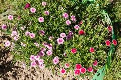 Dianthus (γαρίφαλο) Στοκ Φωτογραφία