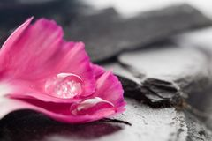 Dianthus Stock Images