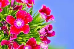Dianthus Zdjęcie Royalty Free
