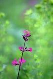Dianthus Stock Afbeeldingen