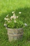 Ζαλίζοντας λουλούδι dianthus στον κήπο Στοκ Εικόνες