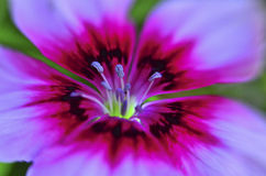Dianthus Stock Fotografie