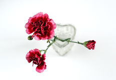 Dianthus. Pink dianthus in a vase Stock Photos