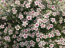 Dianthus Στοκ Εικόνες