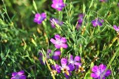 Dianthus Immagini Stock