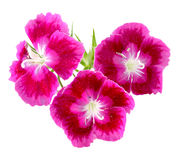 Dianthus. Cluster of three dianthus flowers isolated on white Stock Photos