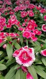 Dianthus Stockfoto