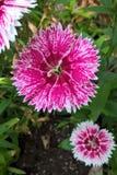 Dianthus stock foto