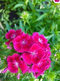 Dianthus obrazy royalty free