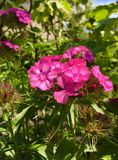 Dianthus obrazy stock