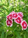 Dianthus Stockbild