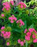 Dianthus zdjęcia stock