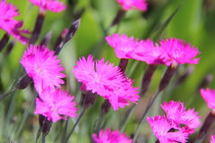 Dianthus Royaltyfri Bild
