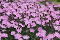 Dianthus Royalty-vrije Stock Foto