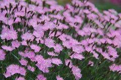 Dianthus Arkivfoton